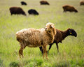 Ram in the pasture in the spring