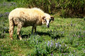 Ram in pasture Royalty Free Stock Photo