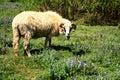 Ram in pasture