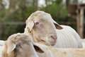Ram portrait big with sheep around it standing on farmland Royalty Free Stock Photos
