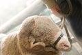 Ram Sheep Royalty Free Stock Photo