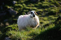 A ram standing on grass in the mountainous countryside of ireland Royalty Free Stock Image