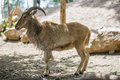 Ram at zoo standing in four legs Royalty Free Stock Photos