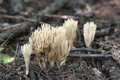 Ramaria stricta Royalty Free Stock Photo