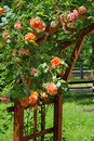 Rambler roses beautiful orange perfumed in the garden Royalty Free Stock Photography