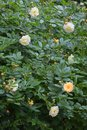 Rambling or climbing rose Royalty Free Stock Photo