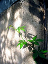 Rambling plant growing near the wall Stock Photos