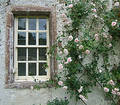 Rambling rose Royalty Free Stock Photo