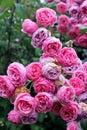 Rambling wild pink roses Royalty Free Stock Photo