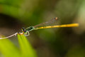 Rambur's Forktail Royalty Free Stock Photos