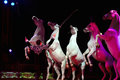 Rampant circus white horses on black background Stock Photography