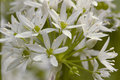 Ramsons allium ursinum closeup of flower Stock Images