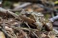 Rana arvalis moor frog Royalty Free Stock Photo