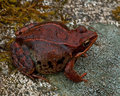 Rana temporaria common frog deep red variant full of spawn sitting on a rock in spring at sweden Royalty Free Stock Photography