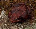 Rana temporaria common frog deep red variant full of spawn sitting on a rock in spring at sweden Stock Photography