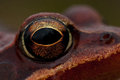 Rana temporaria, common frog ....deep red variant Royalty Free Stock Photo