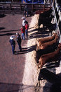 Ranchers with cattle - Live stock show Royalty Free Stock Photo