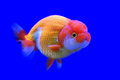 Ranchu or lion head goldfish Royalty Free Stock Photo