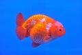 Hlava zlatá rybka v nádrž