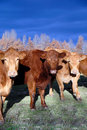 Range Cows In Winter Stock Photography