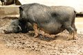 Range fed tibetan pig play at pigsty Stock Image