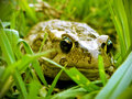 Rangers toad a close up view of a in the grass Royalty Free Stock Images