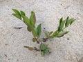 Rank seaside lathyrus maritimus l growing in sand Royalty Free Stock Photo