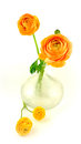 Ranunculus Royalty Free Stock Image