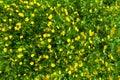 Ranunculus acris (Meadow buttercup, Tall buttercup) yellow flowe
