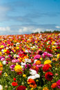 Ranunculus flowers on a hillside against blue sky Stock Image