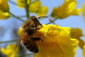 Rape and bee Stock Image