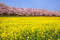 Rape blossoms and cherry tree Royalty Free Stock Photo