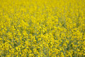Rape close up view yellow meadow of Royalty Free Stock Photo