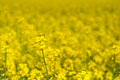 In a rape field Stock Image