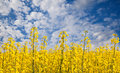 Rape field against blue sky Stock Photography