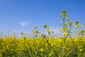 Rape field on blue sky background Stock Photo