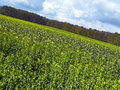Rape field and blue sky with clouds Royalty Free Stock Images