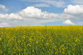 Rape field and blue sky with clouds Royalty Free Stock Photo