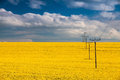 Rape field and blue sky flowers of oil in rapeseed with high voltage power lines Royalty Free Stock Image