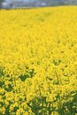 Rape field, canola crops Royalty Free Stock Photo