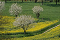 Rape field with cherry trees, Germany Royalty Free Stock Photo