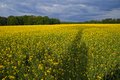 Rape field in the evening Stock Image