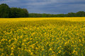 Rape field in the evening Royalty Free Stock Image