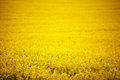 Rape field full yellow background Stock Image