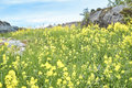 Rape field full of yellow flowers Royalty Free Stock Photo