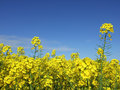 Rape field of growing with blue sky in the distance Stock Photography