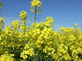 Rape field of growing with blue sky in the distance Stock Photos