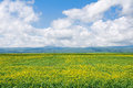 Rape field the landscape of abloom Stock Image