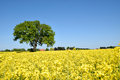 Rape field with lone tree Royalty Free Stock Photo