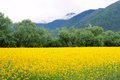Rape field in mountain the abloom valley Stock Image